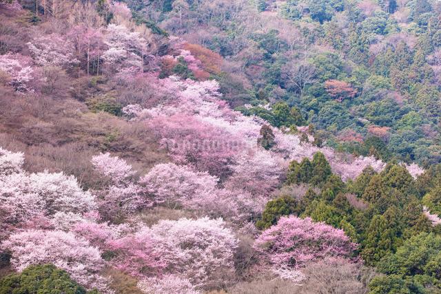 嵐山のサクラの写真素材 [FYI03340133]