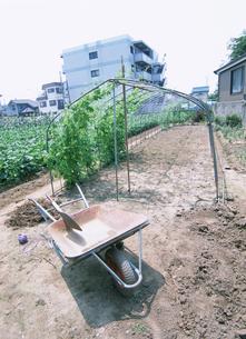 一輪車が置いてある枝豆畑の写真素材 [FYI03340208]