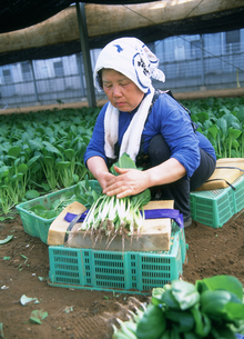 農業 小松菜を収穫して束ねる女性の写真素材 [FYI03340213]