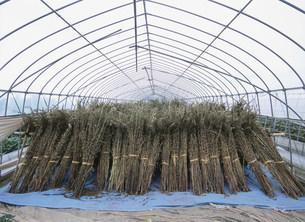 農作物 ビニールハウスの中に並べたゴマの茎の写真素材 [FYI03340269]