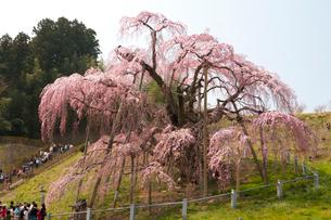 三春の滝桜と観光客の写真素材 [FYI03341142]