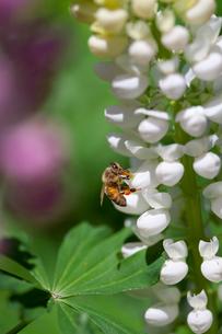 ルピナスと蜂の写真素材 [FYI03341184]