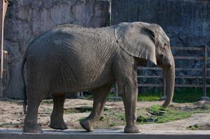 アフリカゾウの写真素材 [FYI03341279]