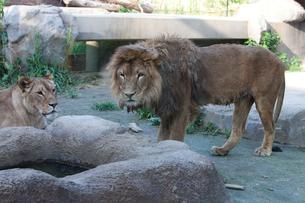 ライオン オスとメスの写真素材 [FYI03341302]