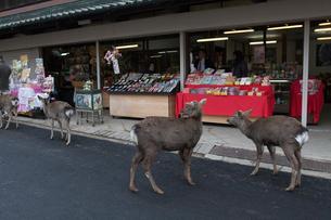 土産物店前のシカの写真素材 [FYI03341307]