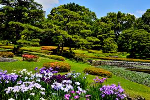 皇居二の丸庭園に咲くハナショウブの写真素材 [FYI03341384]