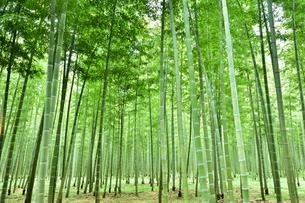 緑が鮮やかな竹林の写真素材 [FYI03341422]