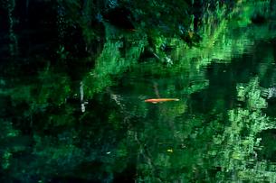 県文化財天然記念物の湧き水の出流原弁天池と鯉の写真素材 [FYI03341425]