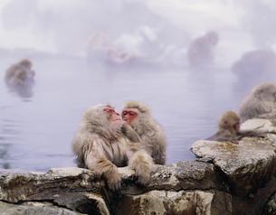 地獄谷温泉 野猿公園の猿の写真素材 [FYI03341432]