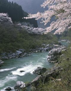 渓流と桜(飛騨川)の写真素材 [FYI03341709]