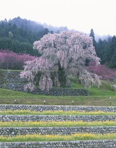叉兵衞桜の写真素材 [FYI03341735]