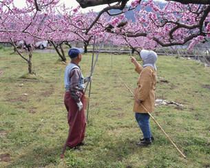 桃の受粉作業の写真素材 [FYI03341828]