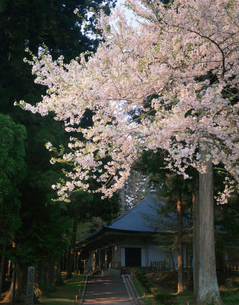 中尊寺 金色堂と桜の写真素材 [FYI03341992]