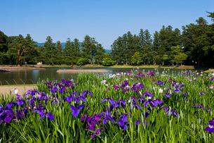 あやめ咲く 毛越寺庭園の写真素材 [FYI03342111]