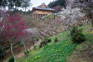 石山寺  第三梅園の写真素材 [FYI03342217]