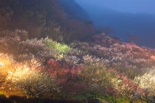 湯河原梅園のライトアップの写真素材 [FYI03342220]