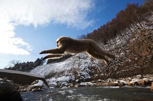 ジャンプするサルの写真素材 [FYI03342411]