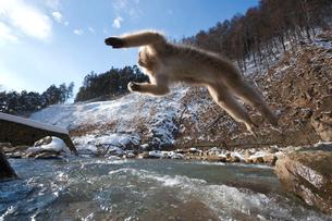 ジャンプするサルの写真素材 [FYI03342419]
