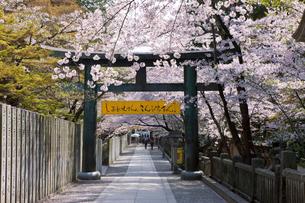 金刀羅宮の桜咲く参道の写真素材 [FYI03342448]