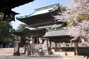 金刀羅宮内旭社と桜の写真素材 [FYI03342450]