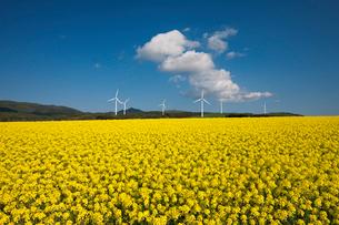 むつ横浜町菜の花畑と風力発電の写真素材 [FYI03342473]