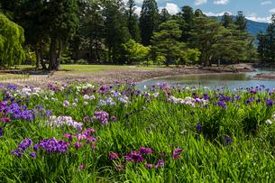 あやめ咲く毛越寺庭園の写真素材 [FYI03343195]