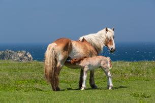 寒立馬の授乳風景の写真素材 [FYI03343227]