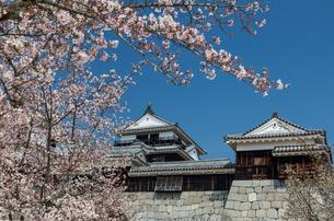 桜咲く松山城本丸広場より天守閣を望むの写真素材 [FYI03343532]