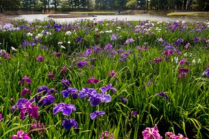 あやめ咲く毛越寺庭園の写真素材 [FYI03343756]