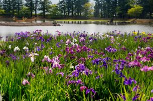 あやめ咲く毛越寺庭園の写真素材 [FYI03343757]