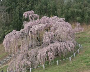 三春の滝桜の写真素材 [FYI03344246]