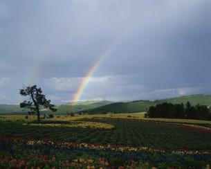 虹と美瑛のお花畑の写真素材 [FYI03344373]