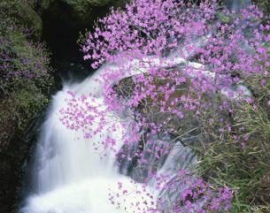 竜頭ノ滝とトウゴクミツバツツジの写真素材 [FYI03344438]