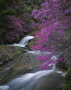 渓流とトウゴクミツバツツジの写真素材 [FYI03344439]