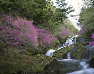 竜頭ノ滝とトウゴクミツバツツジの写真素材 [FYI03344449]