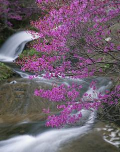 渓流とトウゴクミツバツツジの写真素材 [FYI03344560]