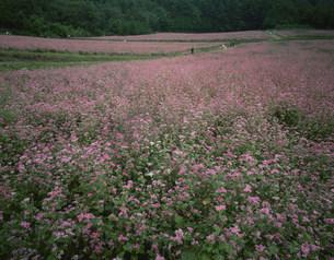 赤ソバの花の写真素材 [FYI03344610]