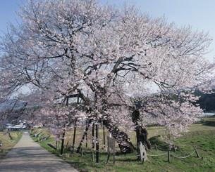 黒部のえどひがん桜の写真素材 [FYI03344866]