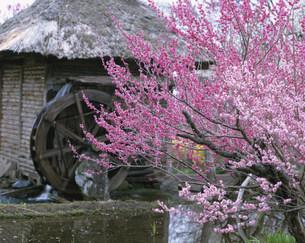 水車小屋と花咲く木の写真素材 [FYI03344868]