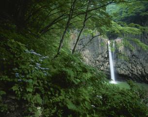 苗名滝と山アジサイの写真素材 [FYI03344932]
