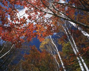 乗鞍高原の白樺の紅葉の写真素材 [FYI03344996]