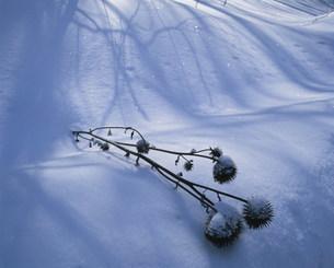 冬の峰の原高原の枯れたアザミの写真素材 [FYI03345090]