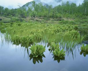 ミズバショウの葉が茂る乗鞍高原の写真素材 [FYI03345170]
