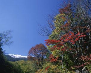 冠雪の乗鞍岳と紅葉の写真素材 [FYI03345218]
