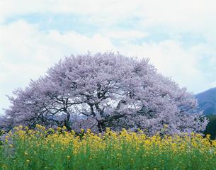 菜の花と黒部のエドヒガン桜の写真素材 [FYI03345383]