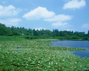 スイレンの咲くいもり池の写真素材 [FYI03345429]