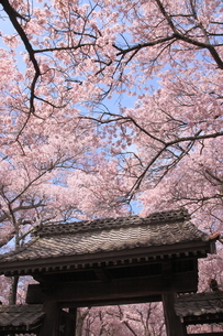 高遠城址公園の桜の写真素材 [FYI03345584]