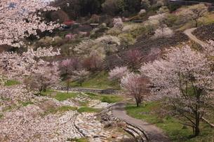 夢農場の桜の写真素材 [FYI03345593]