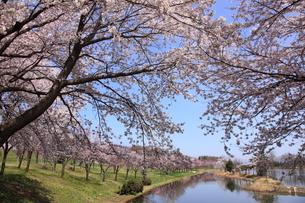 針湖池の桜の写真素材 [FYI03345603]