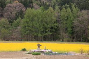 菜の花畑と灯籠の写真素材 [FYI03345617]